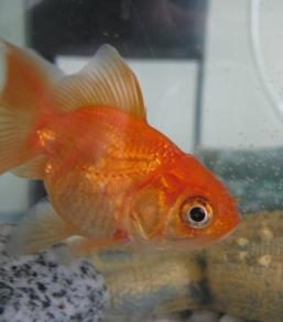 goldfish-1339673